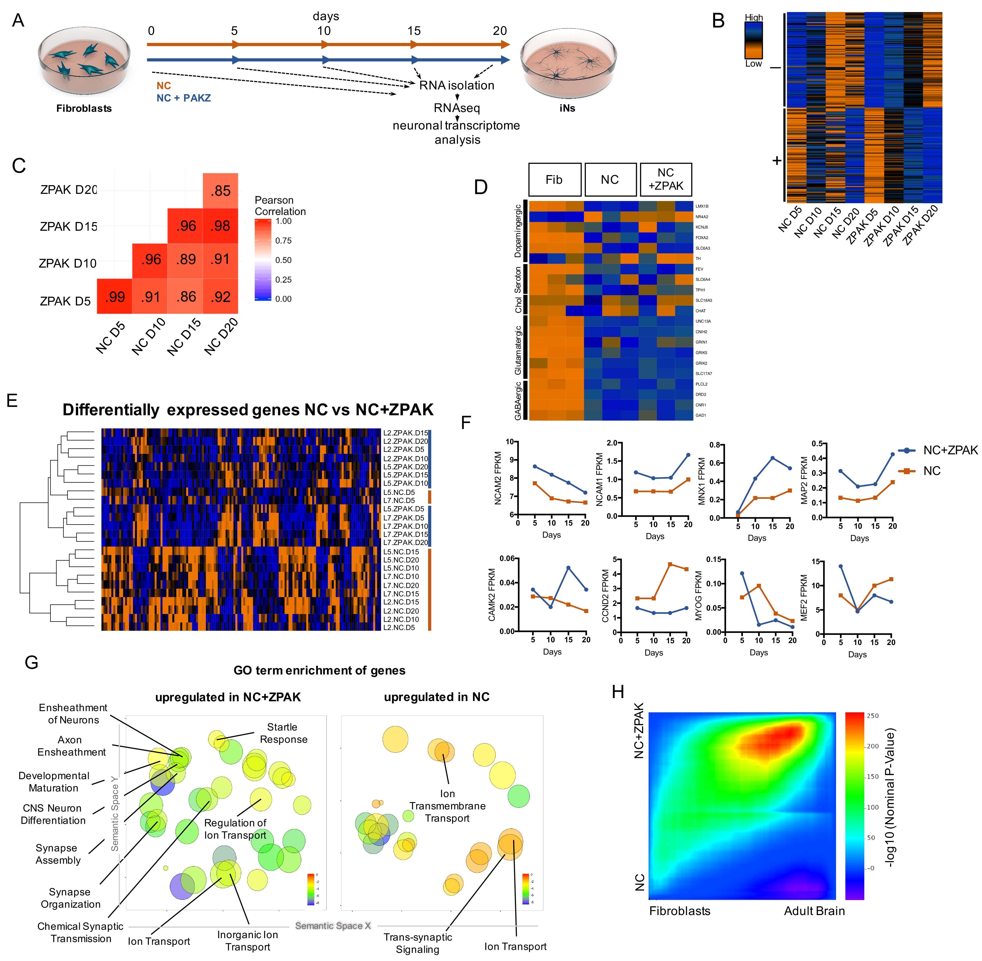 Chemical Modulation Of Transcriptionally Enriched Signaling Pathways To Optimize The Conversion Of Fibroblasts Into Neurons Elife