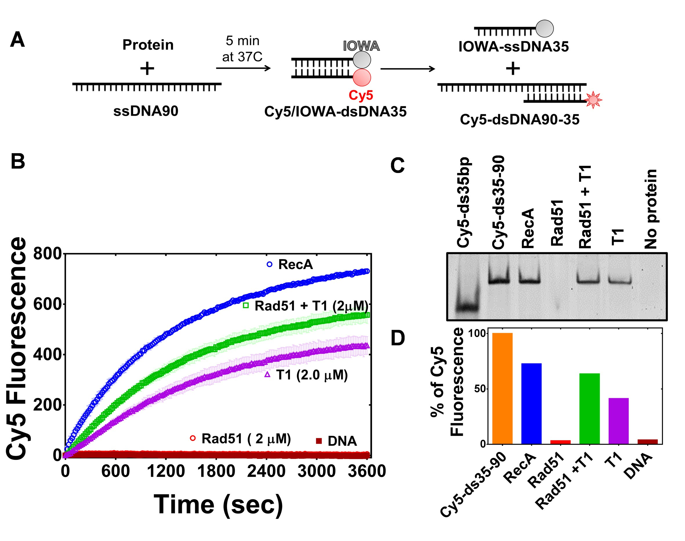 Novel Rna And Dna Strand Exchange Activity Of The Palb2 Dna Binding Domain And Its Critical Role For Dna Repair In Cells Elife