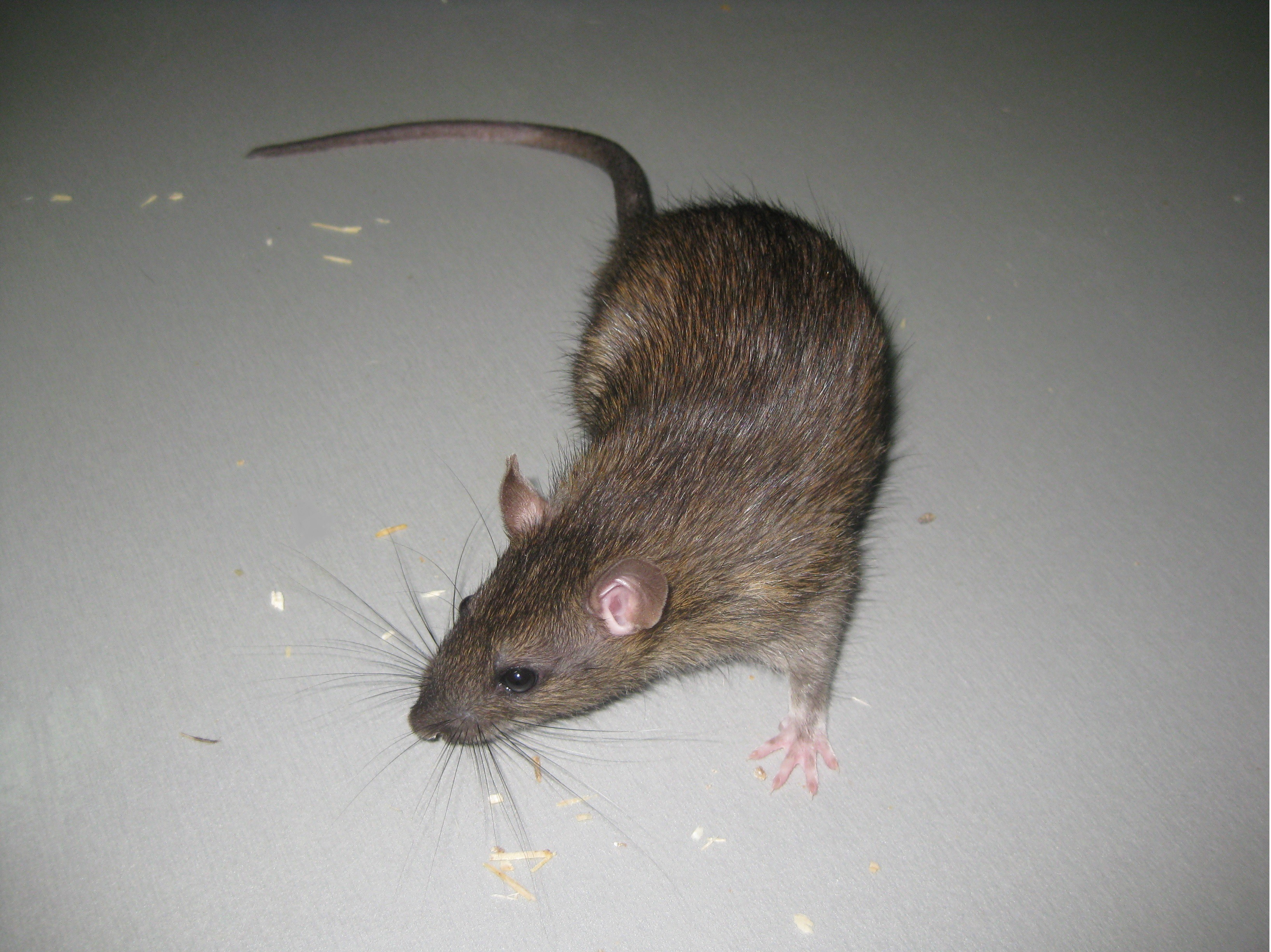 The Natural History Of Model Organisms The Norway Rat From An Obnoxious Pest To A Laboratory Pet Elife