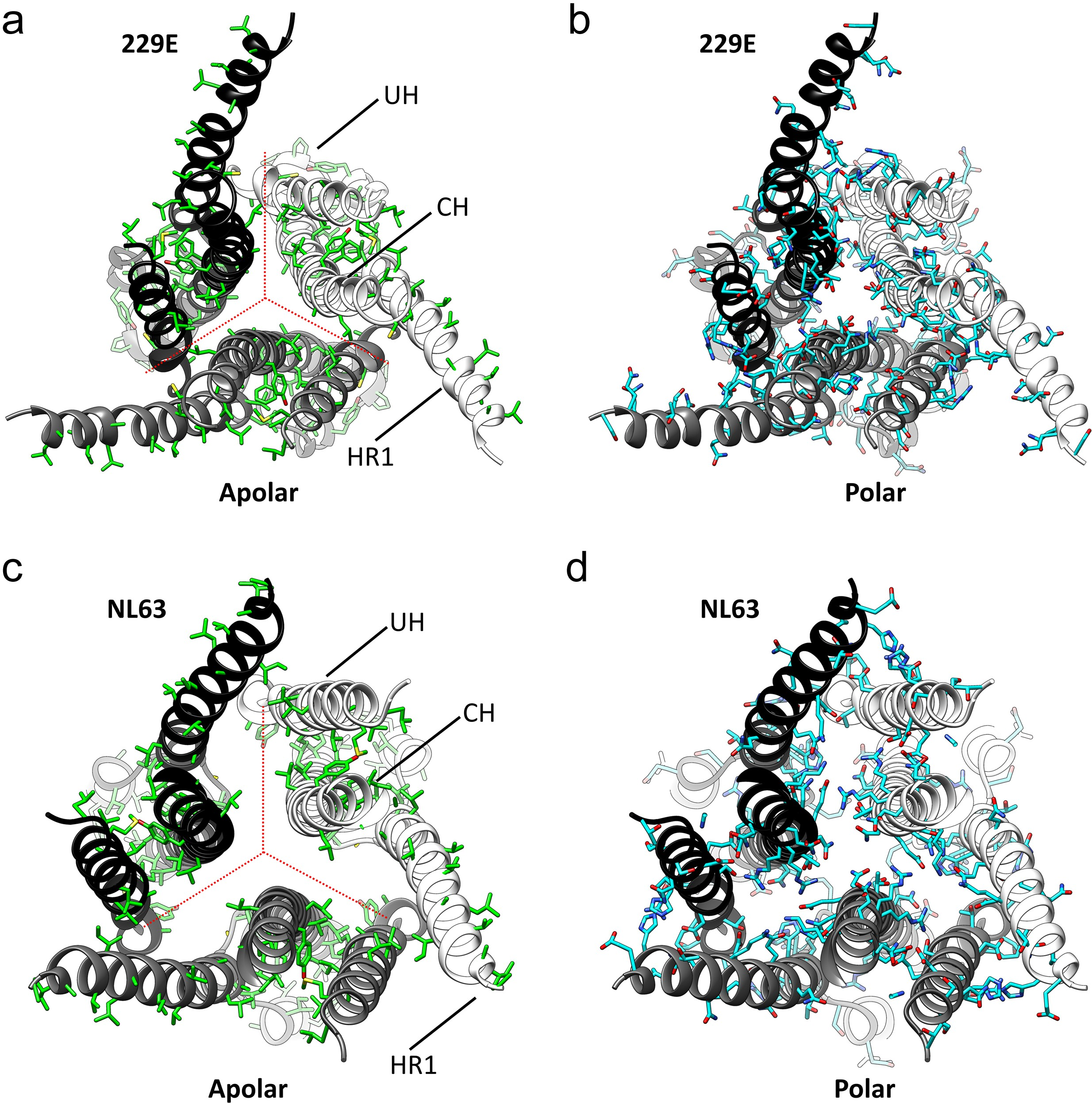 The Human Coronavirus Hcov 229e S Protein Structure And Receptor Binding Elife