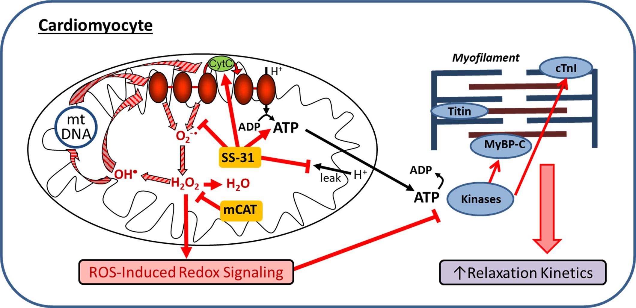 Late Life Restoration Of Mitochondrial Function Reverses Cardiac