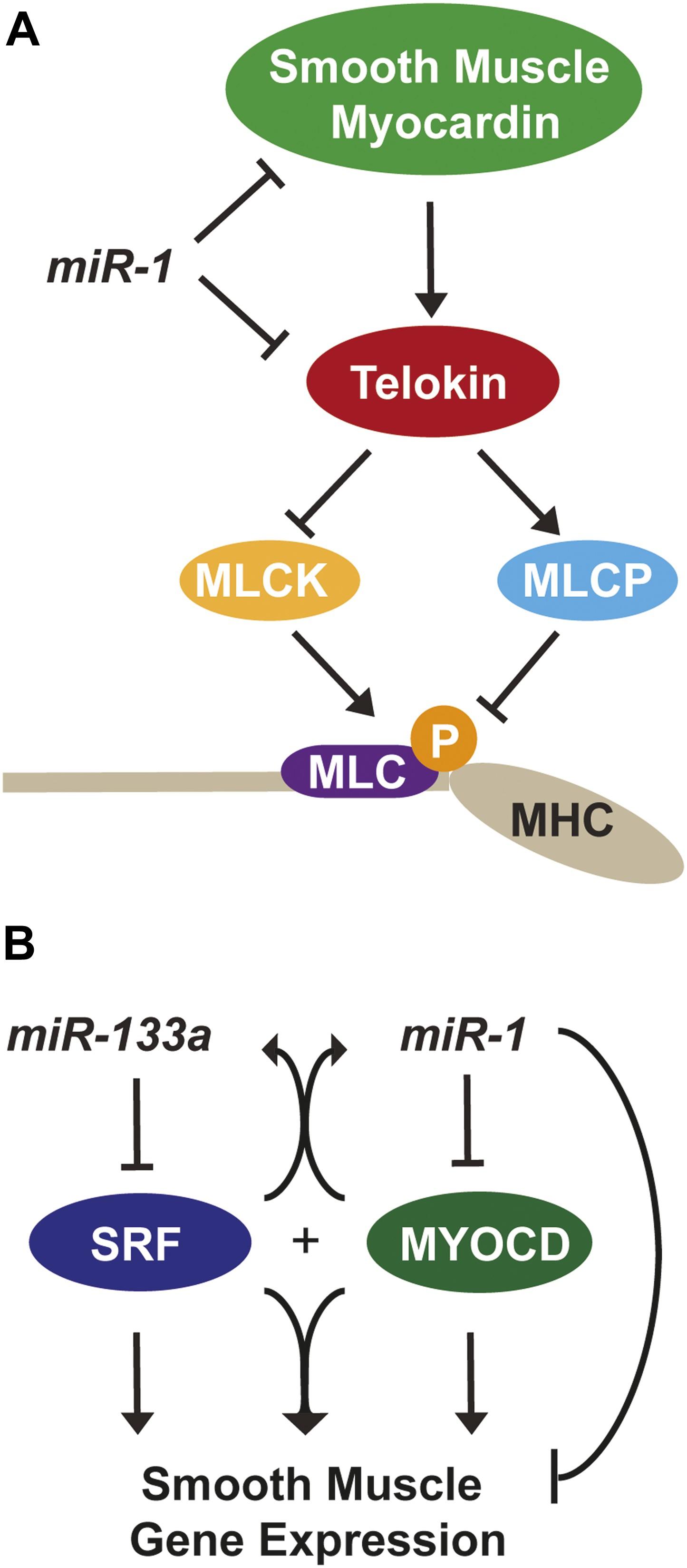 Microrna 1 regulates sarcomere formation and suppresses smooth download asset open asset altavistaventures Images