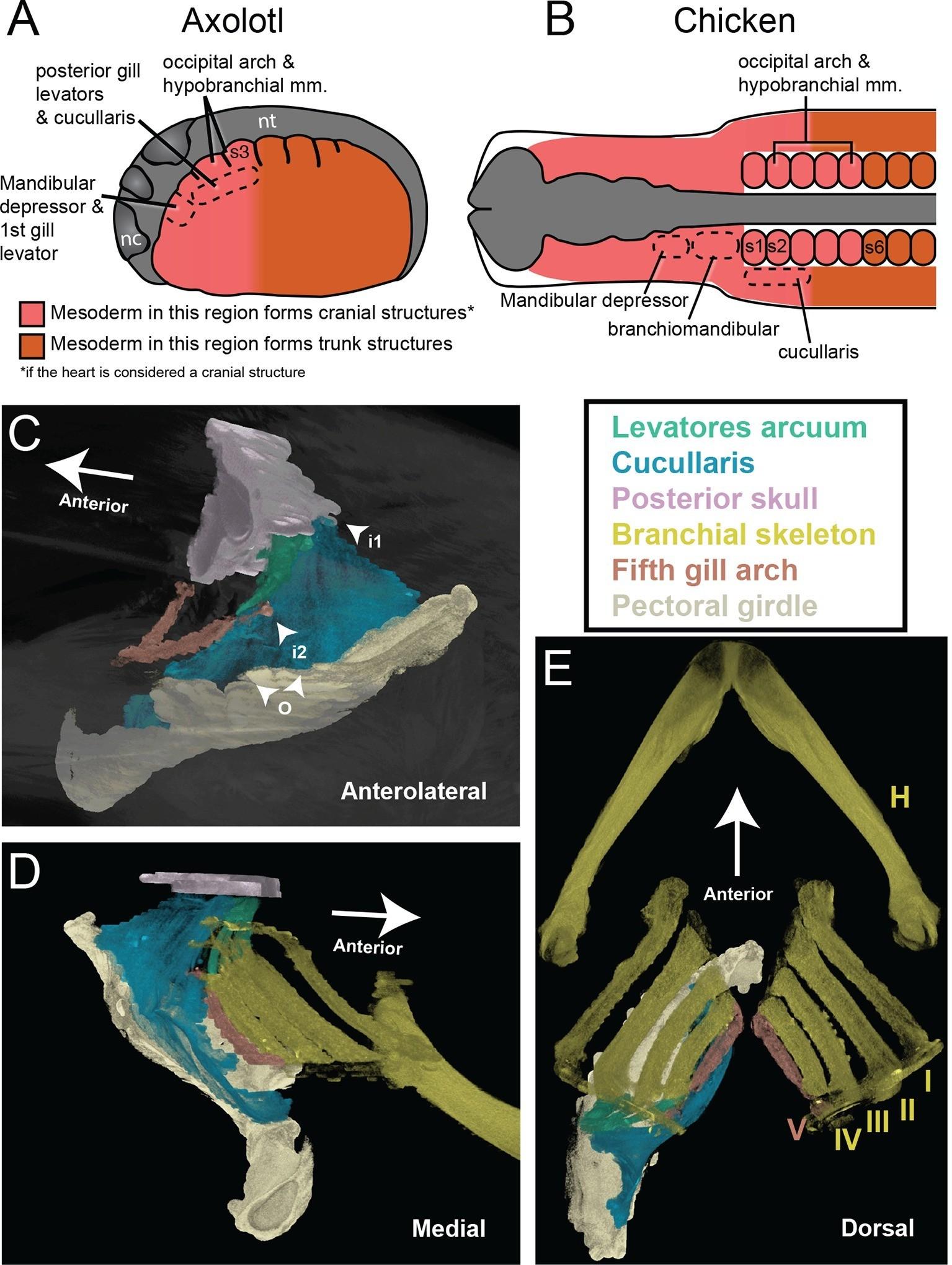 Evolution of the head-trunk interface in tetrapod vertebrates | eLife
