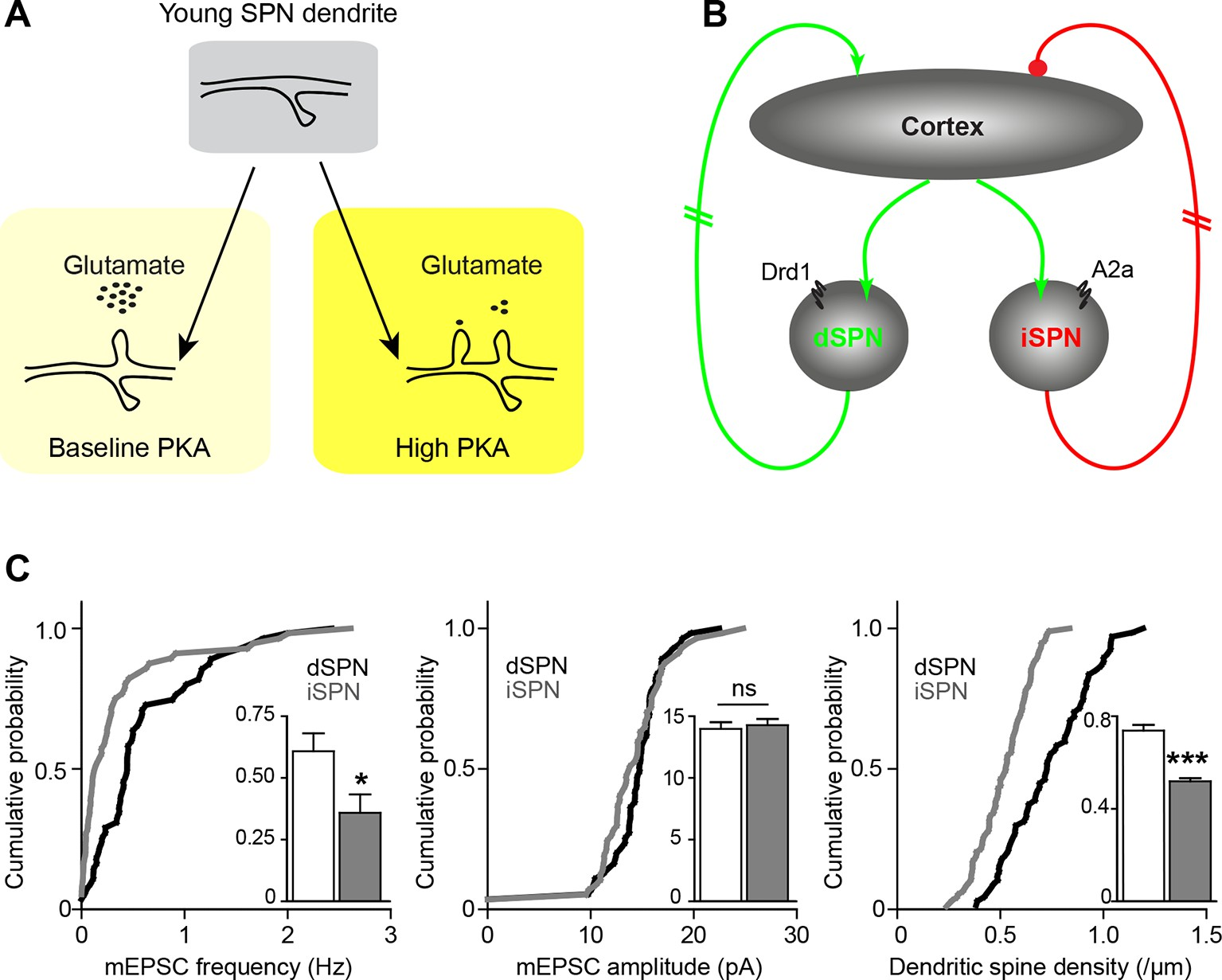a study on synaptogenesis This early onset suggests abnormal development of the neural retina in this study this is the first report of a synaptogenesis defect in an animal model for lca.