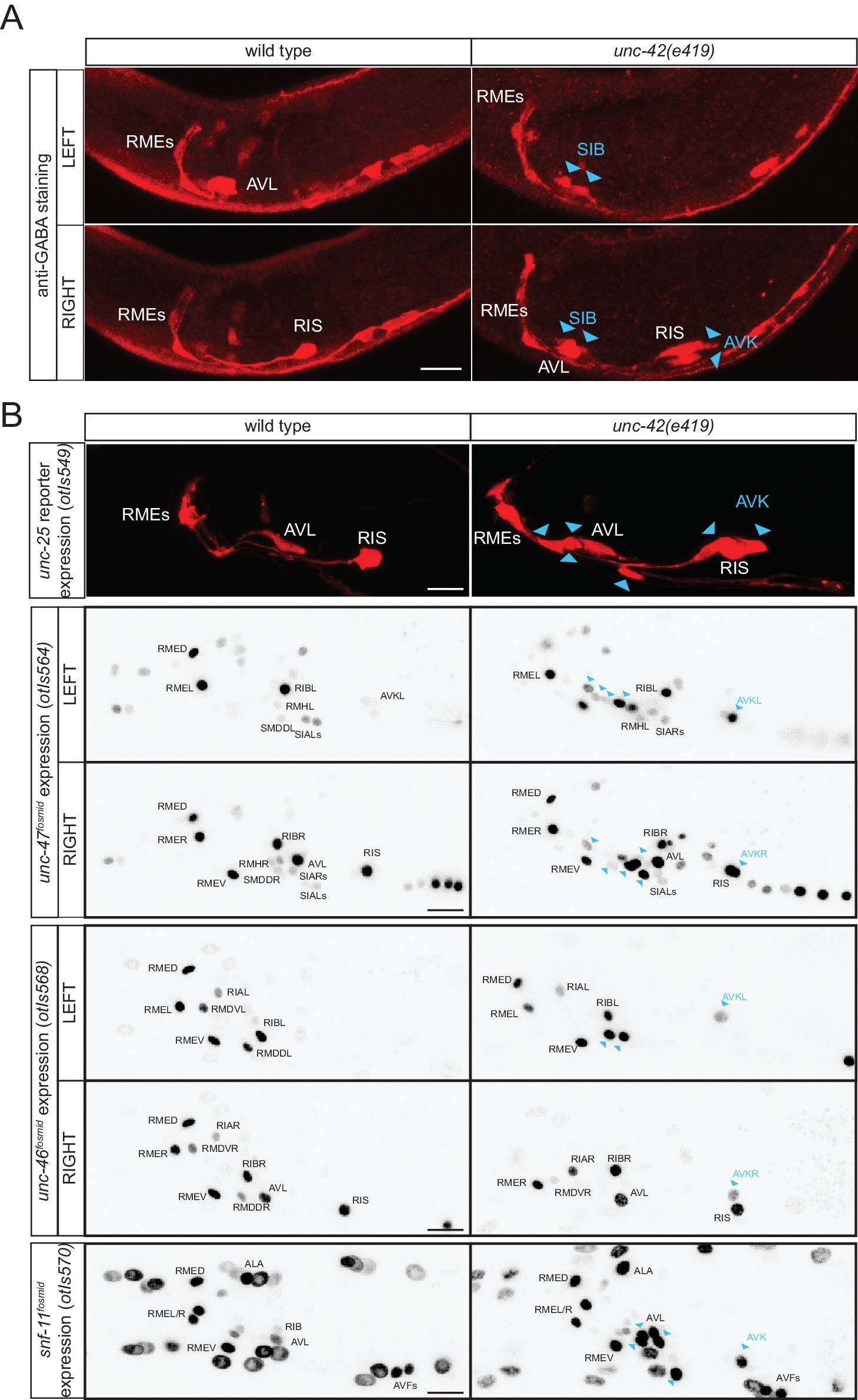 A cellular and regulatory map of the GABAergic nervous system of C ...