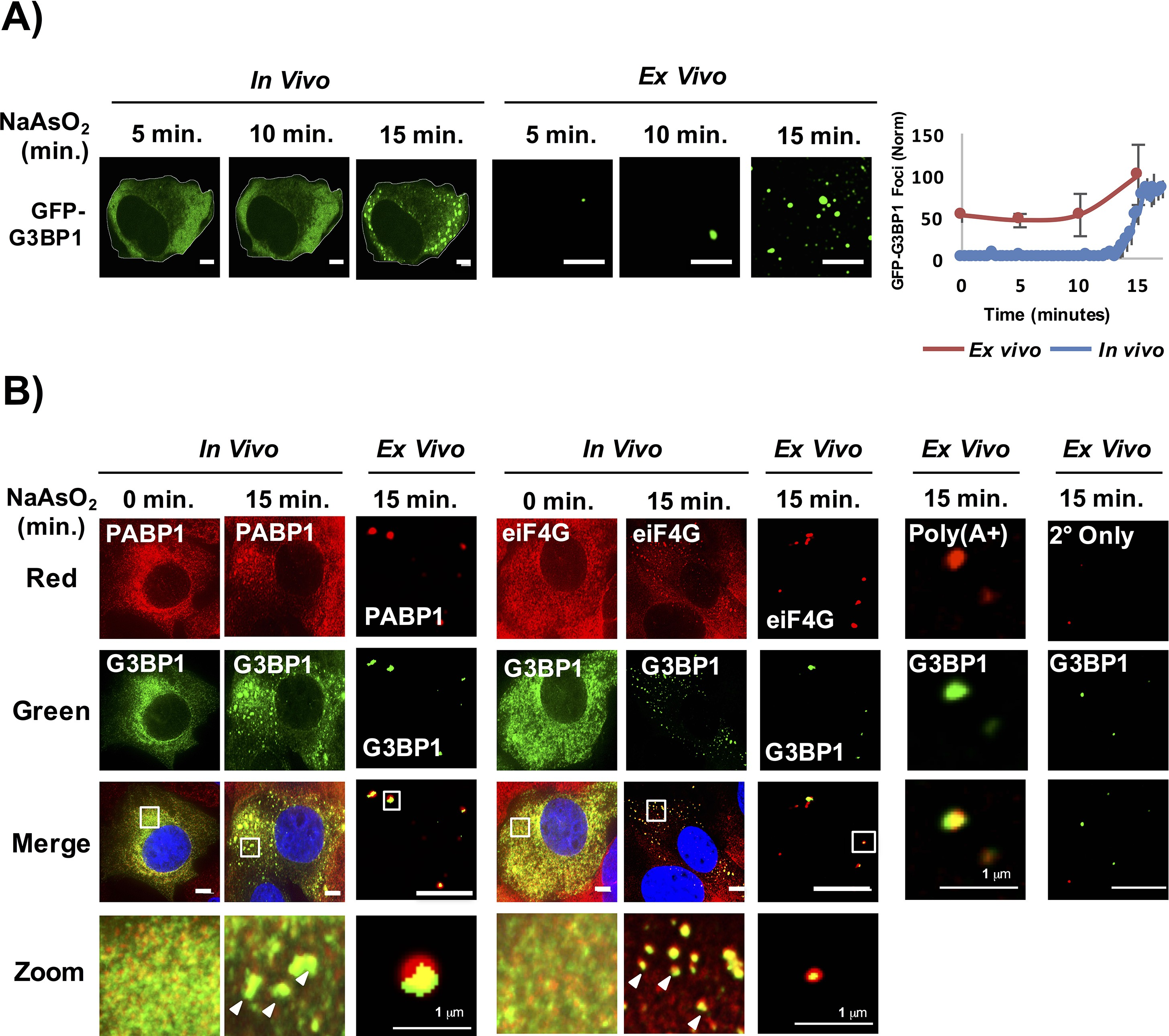 Distinct Stages In Stress Granule Assembly And Disassembly
