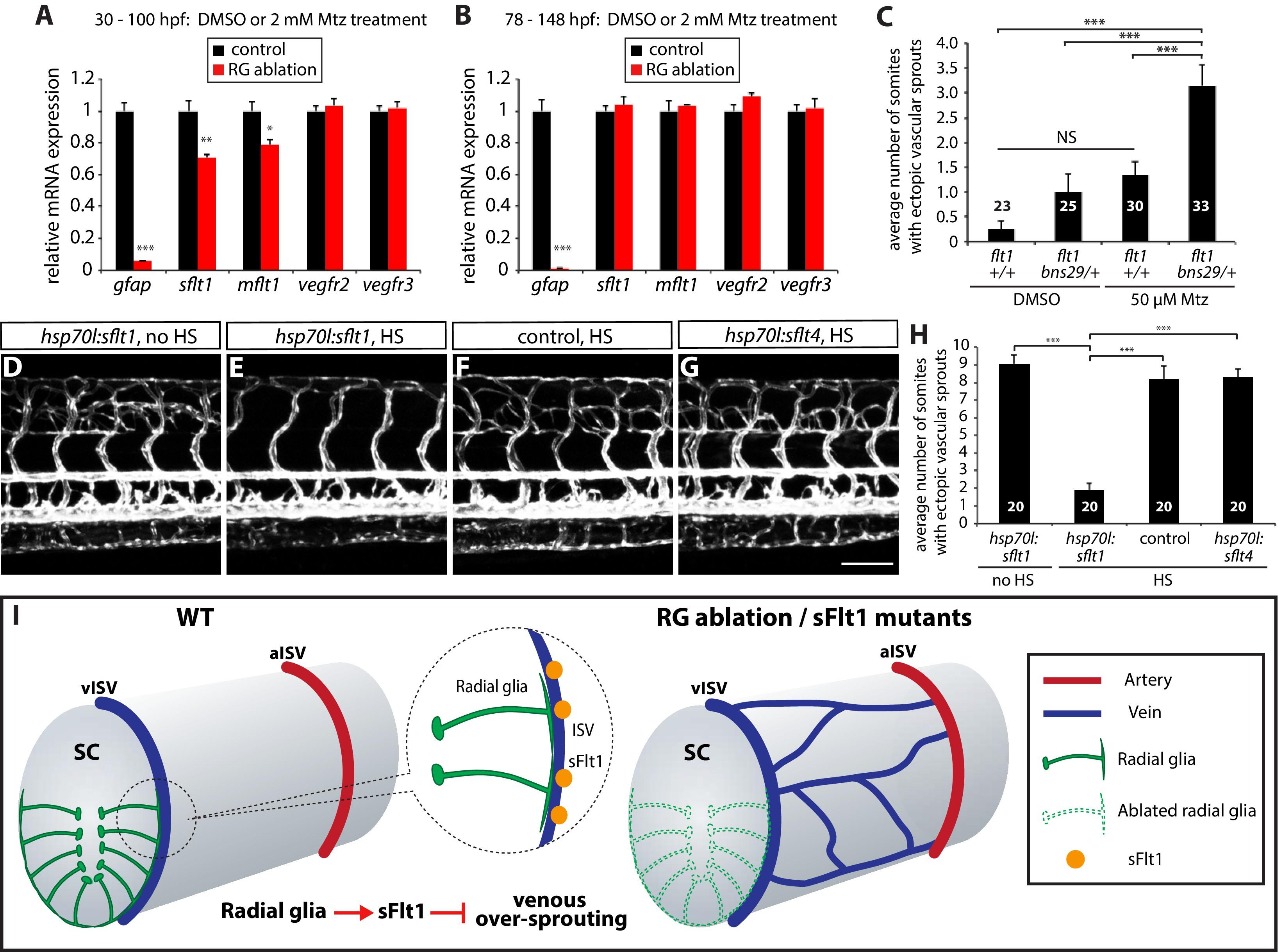 Radial glia regulate vascular patterning around the developing ...