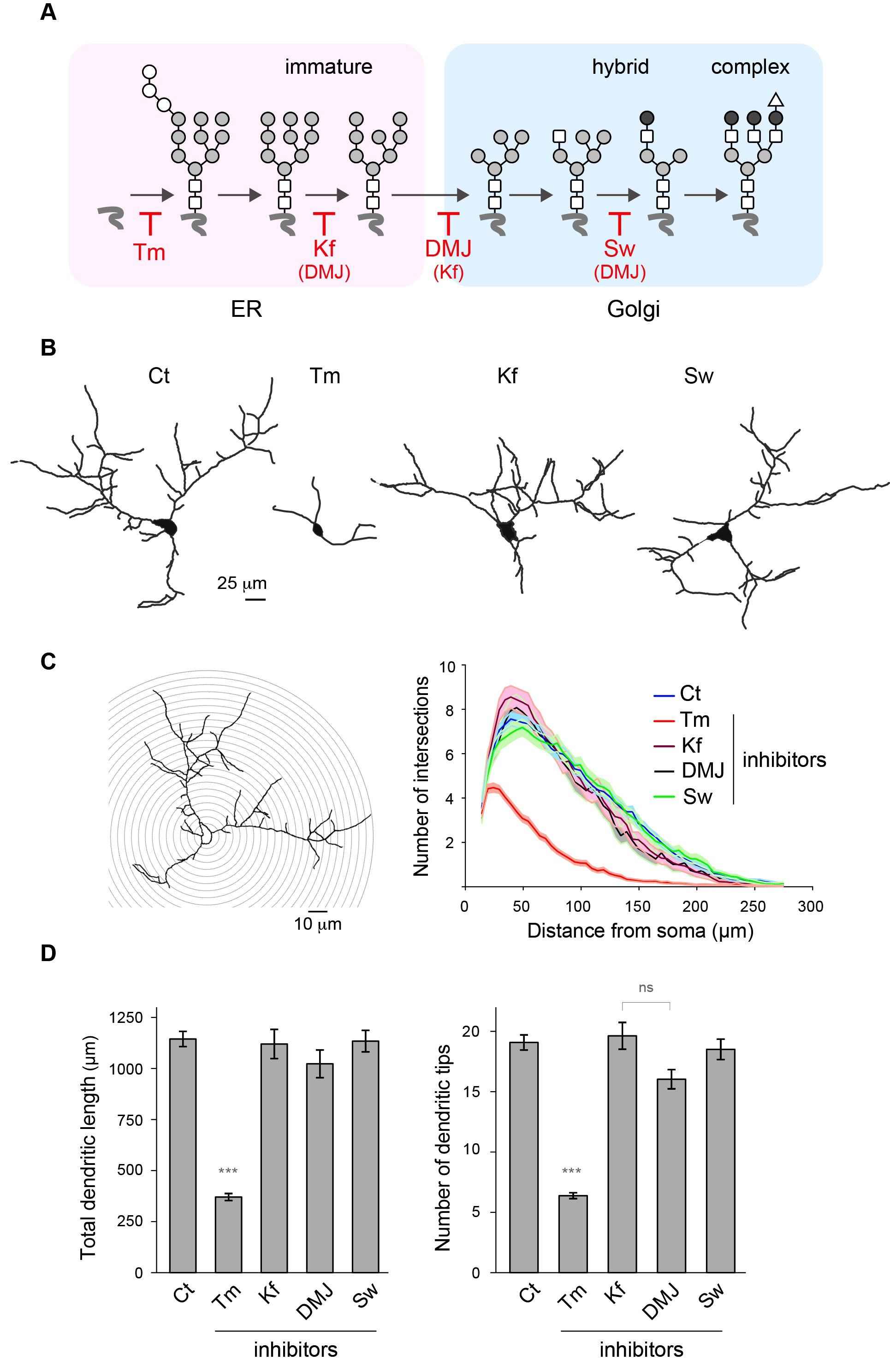 Unconventional secretory processing diversifies neuronal ion ...