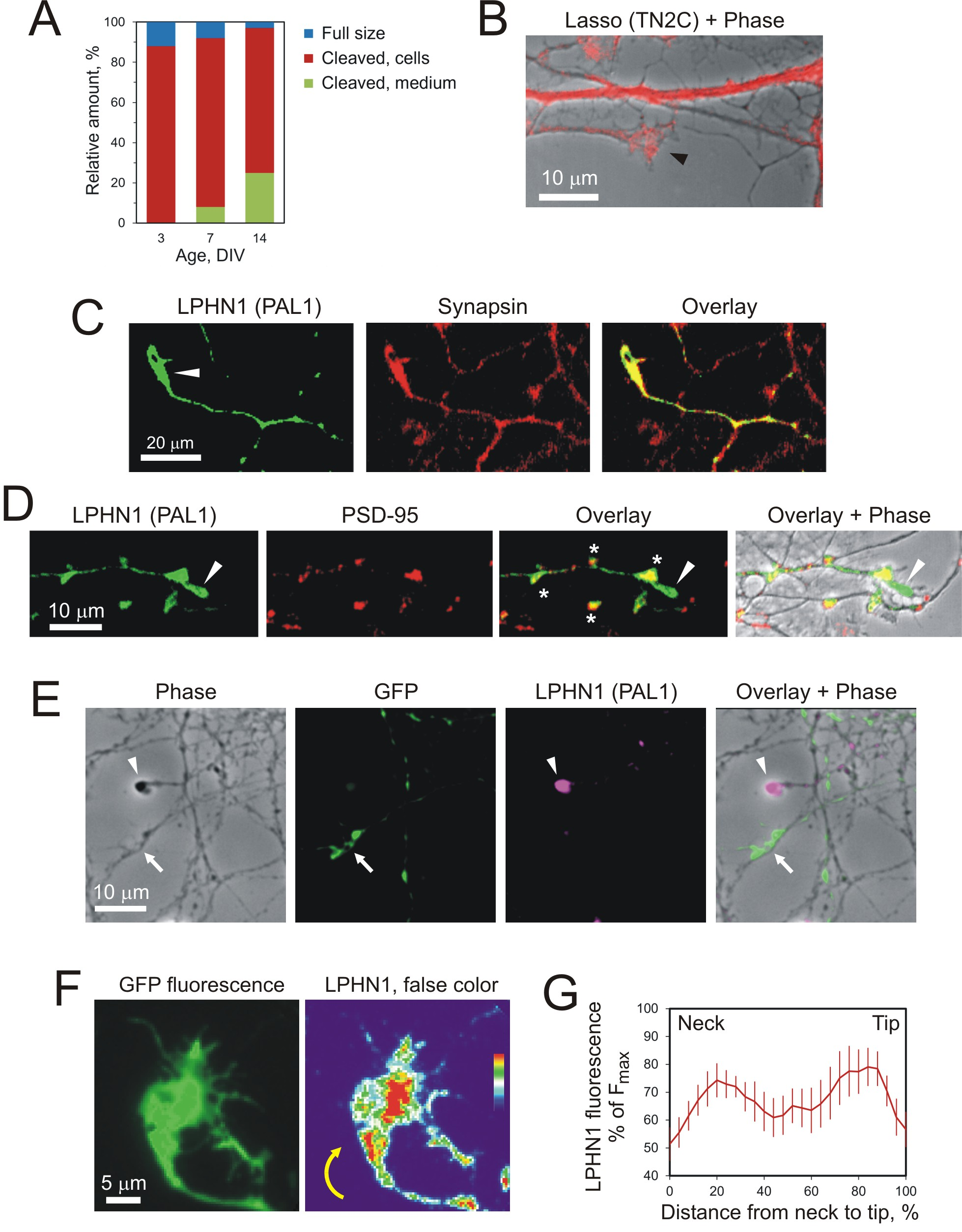Proteolytically released Lasso/teneurin-2 induces axonal ...