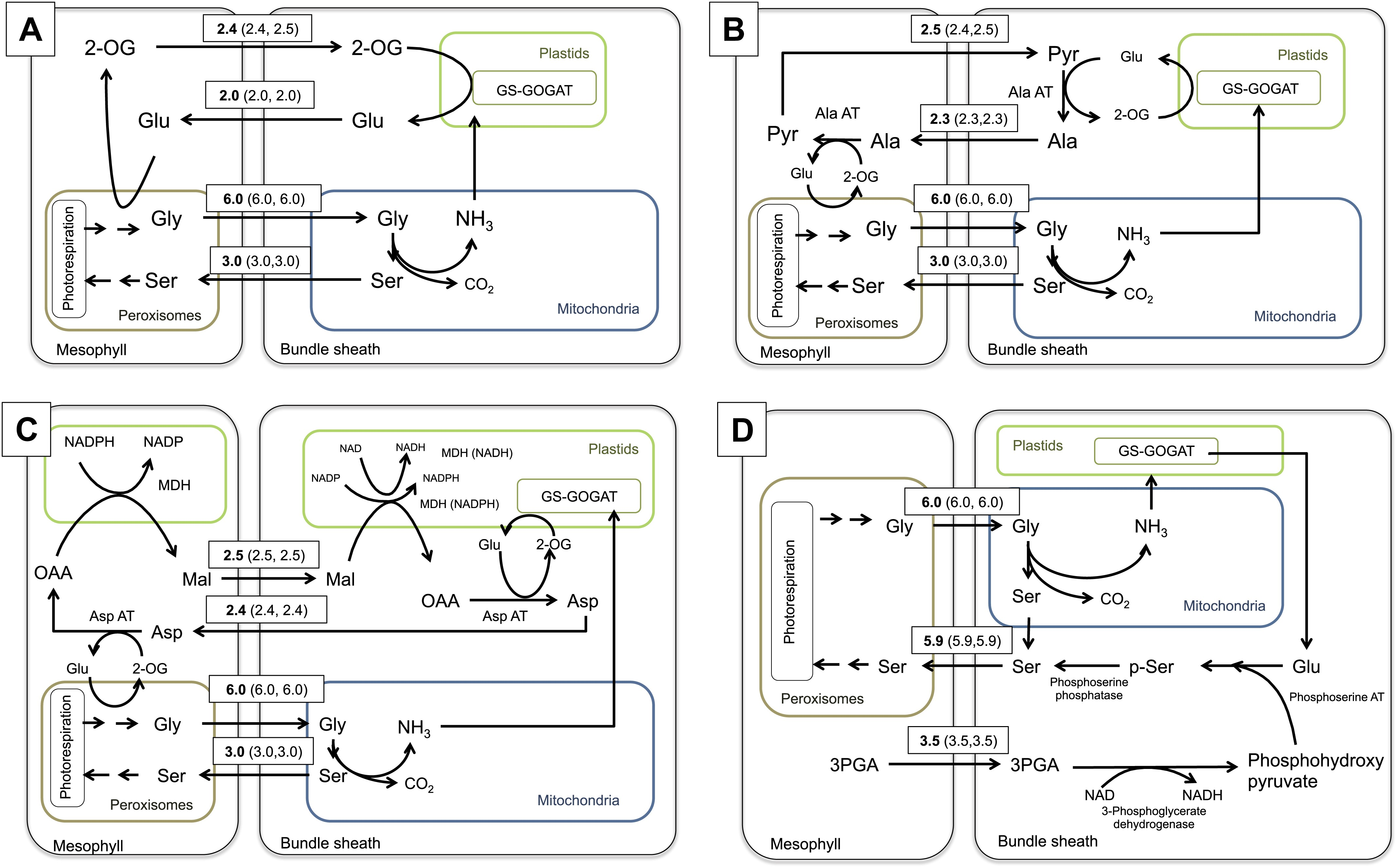 The role of photorespiration during the evolution of C4 ...