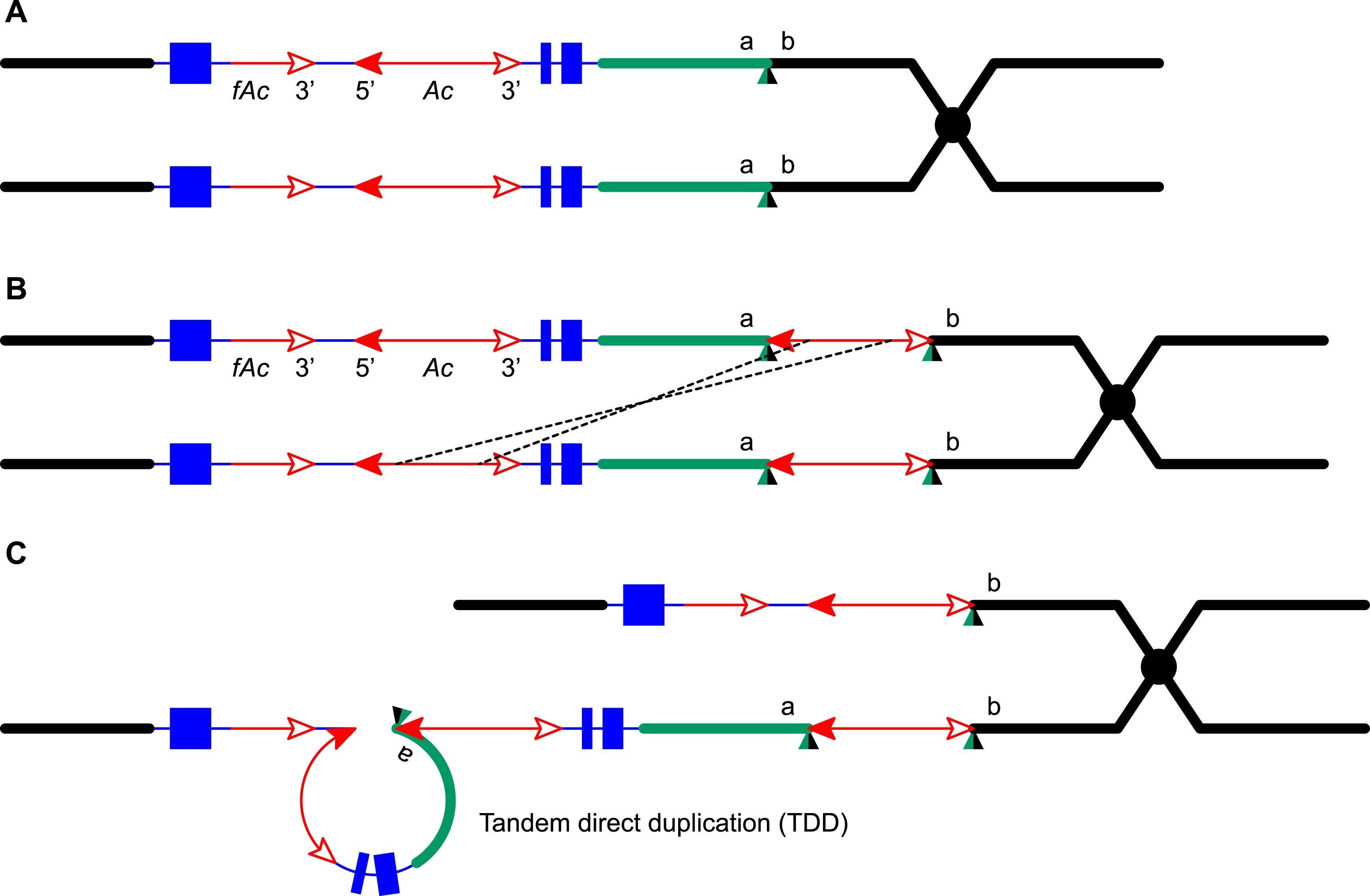 Transposition Mediated Dna Re Replication In Maize Elife