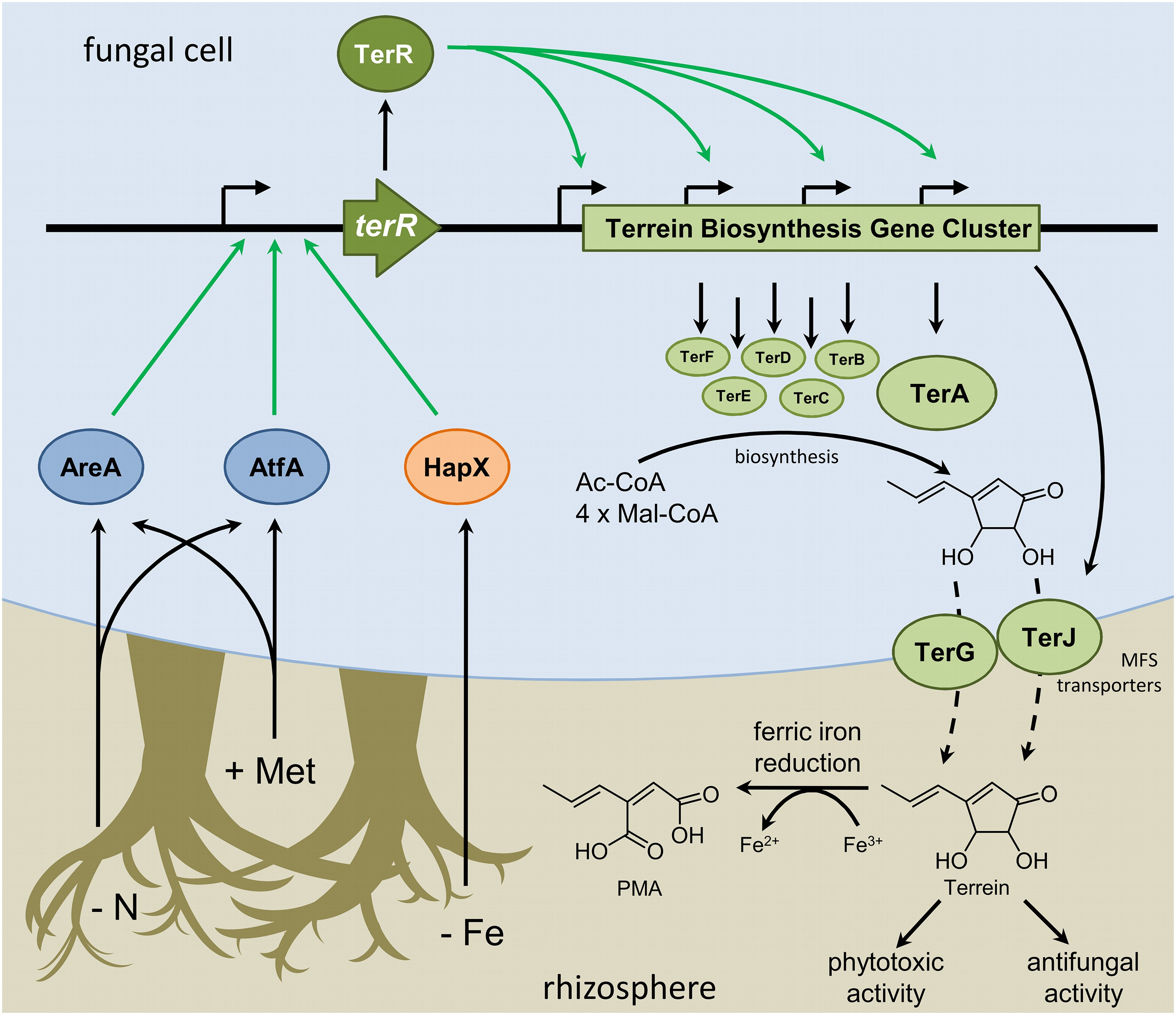Phytotoxin production in aspergillus terreus is regulated by download asset open asset nvjuhfo Image collections