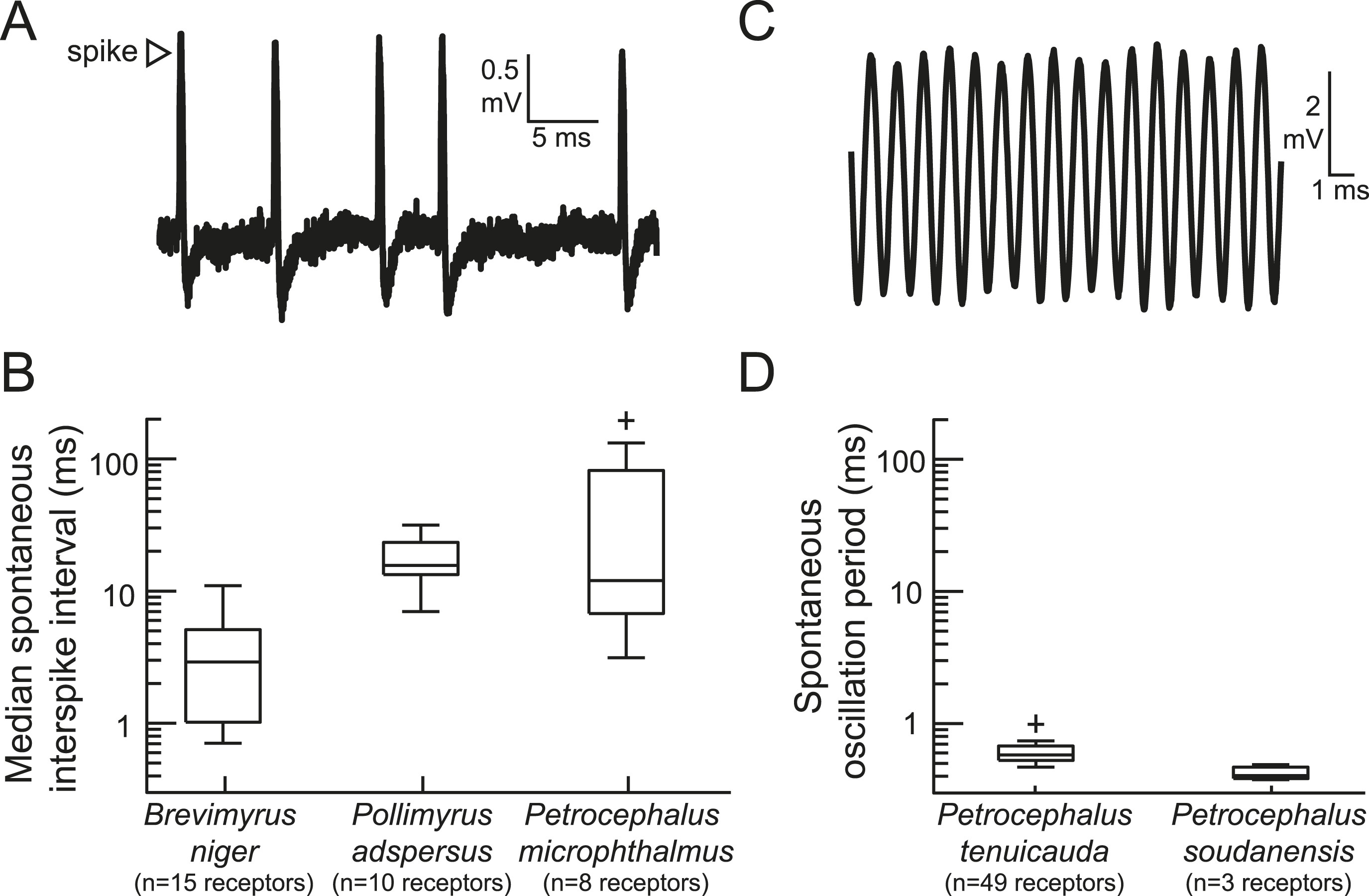 Peripheral Sensory Coding Through Oscillatory Synchrony In Weakly