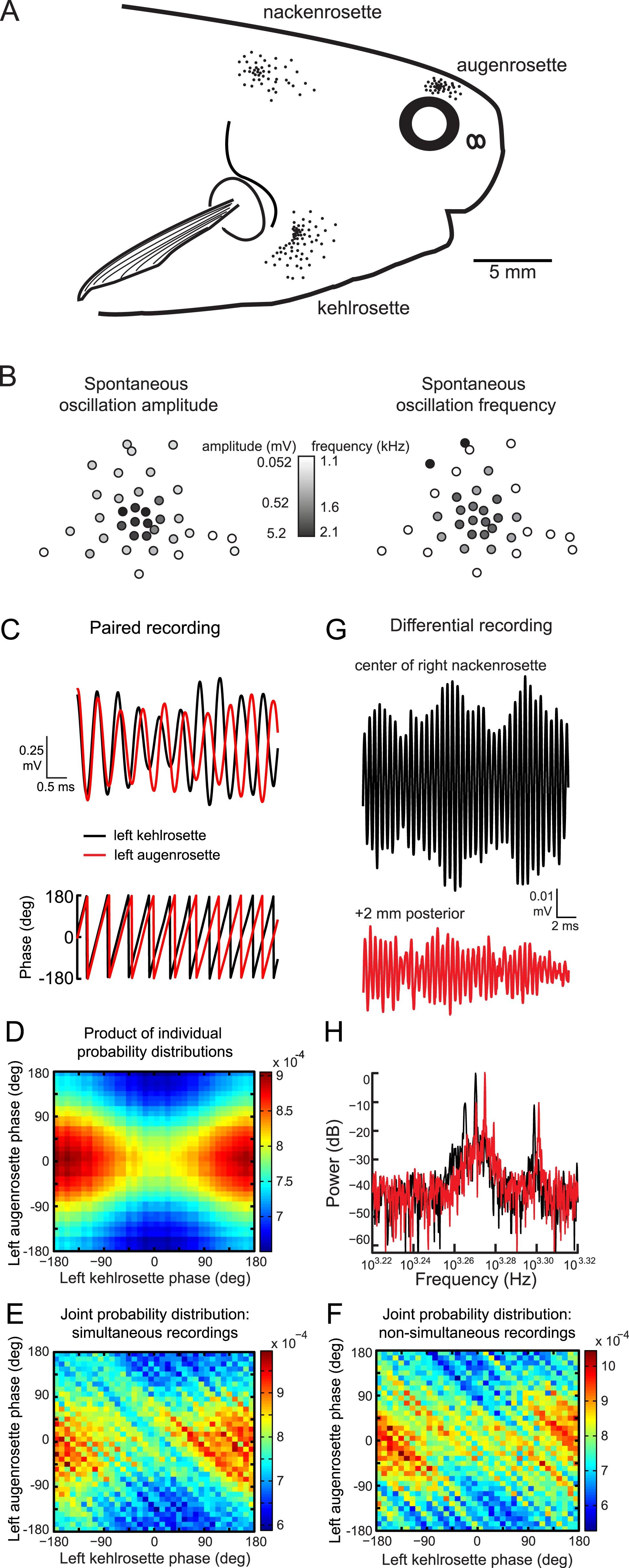 Peripheral sensory coding through oscillatory synchrony in weakly