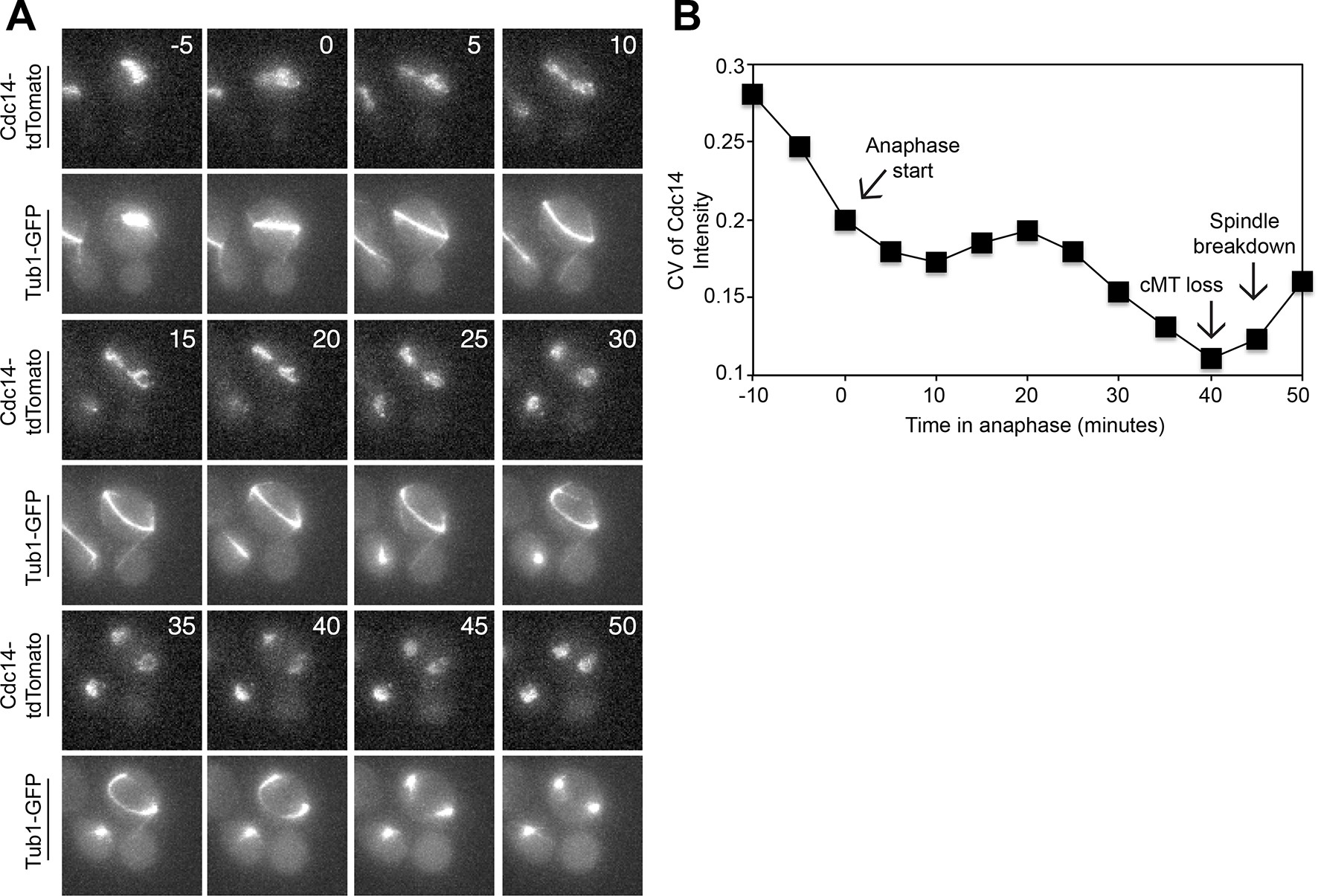 Spatial signals link exit from mitosis to spindle position | eLife