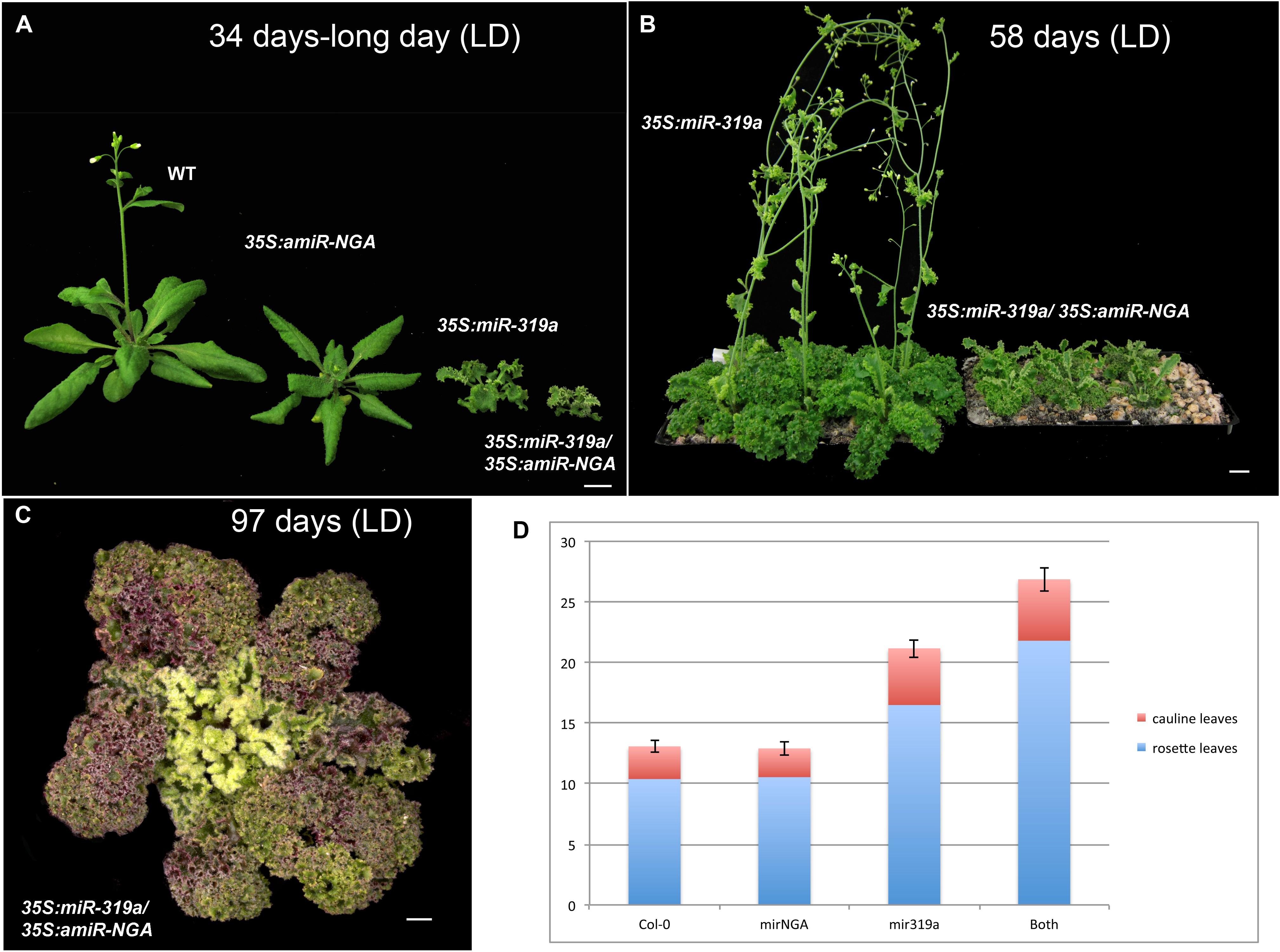 Active suppression of a leaf meristem orchestrates determinate leaf download asset open asset nvjuhfo Image collections