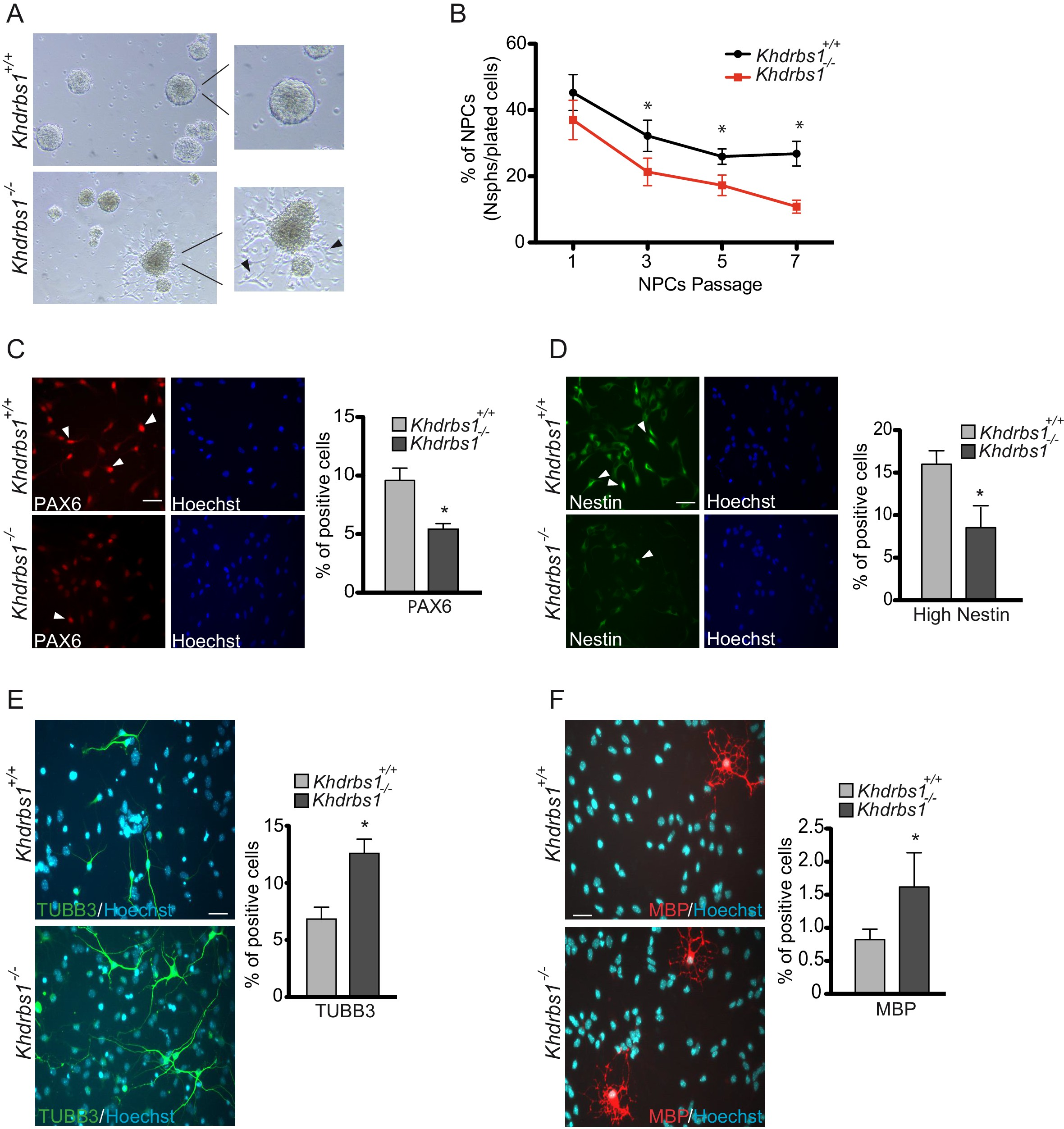 Sam68 promotes self renewal and glycolytic metabolism in mouse