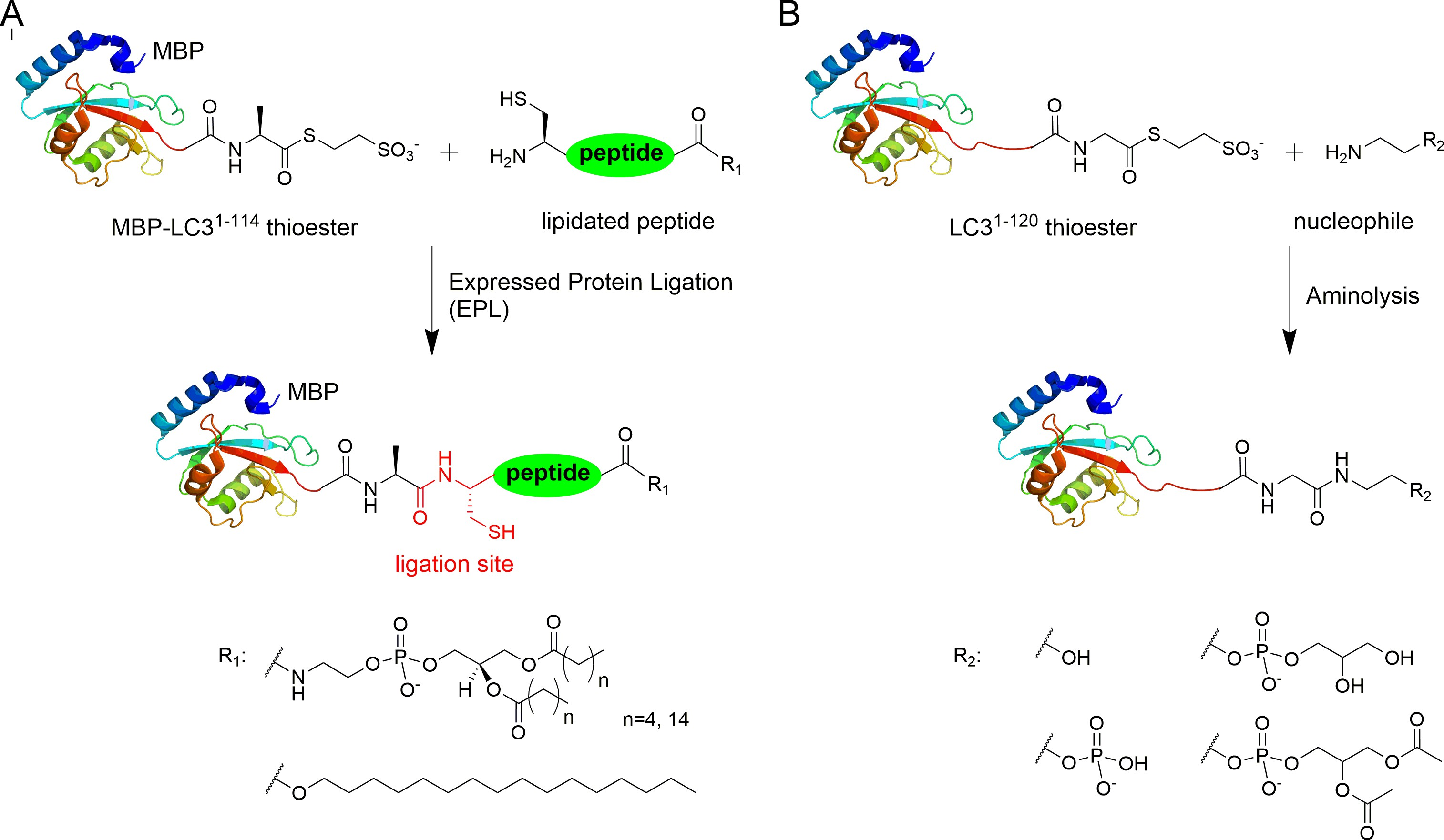 "protein semisynthesis and expressed protein ligation Purexpress in vitro protein synthesis kits cell-free environment not affected by  ""toxicity"" of expressed protein protein labeling or ligation impact kit."