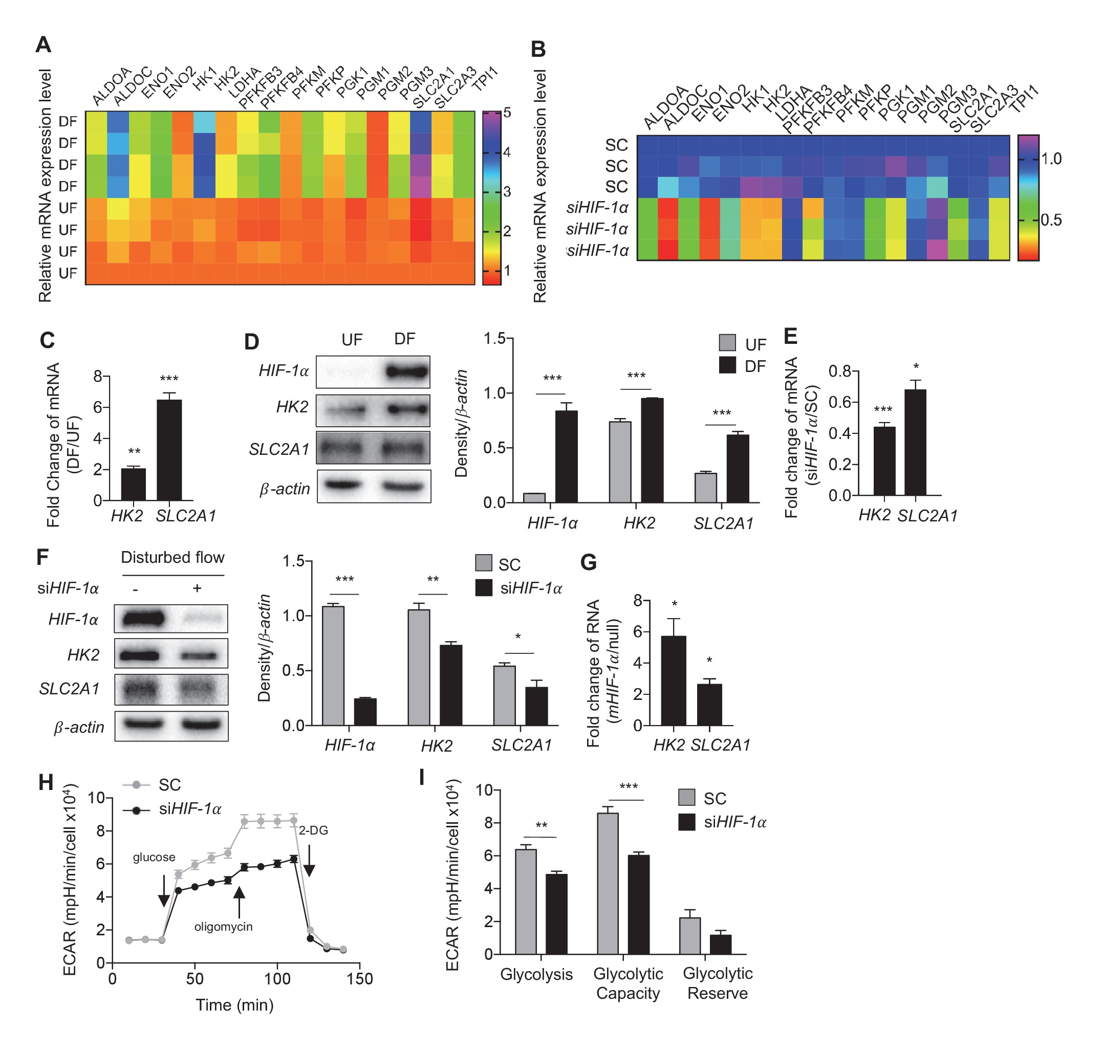 hif 1i is required for disturbed flow induced metabolic