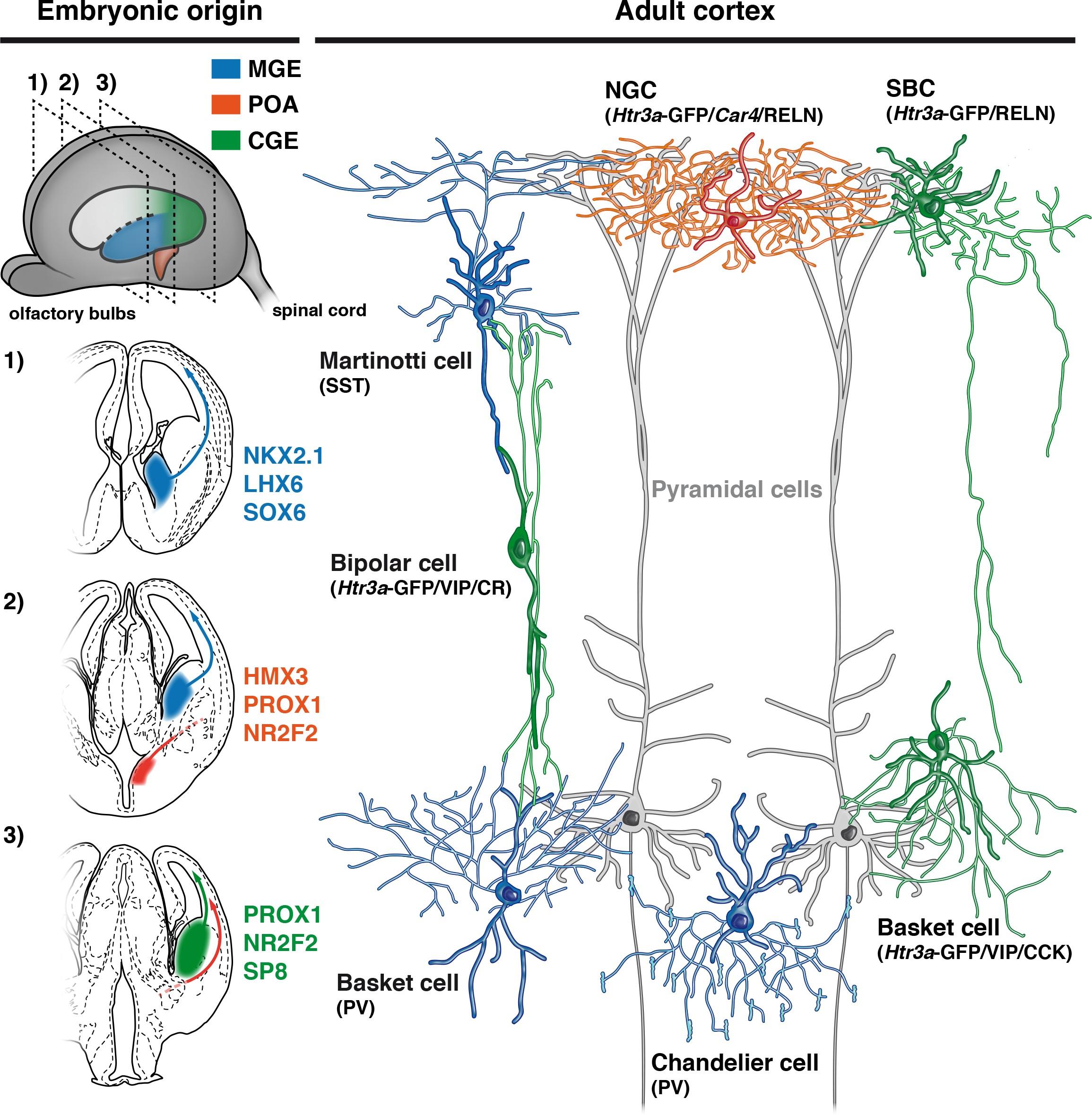 Neurogliaform cortical interneurons derive from cells in the download asset open asset aloadofball Gallery