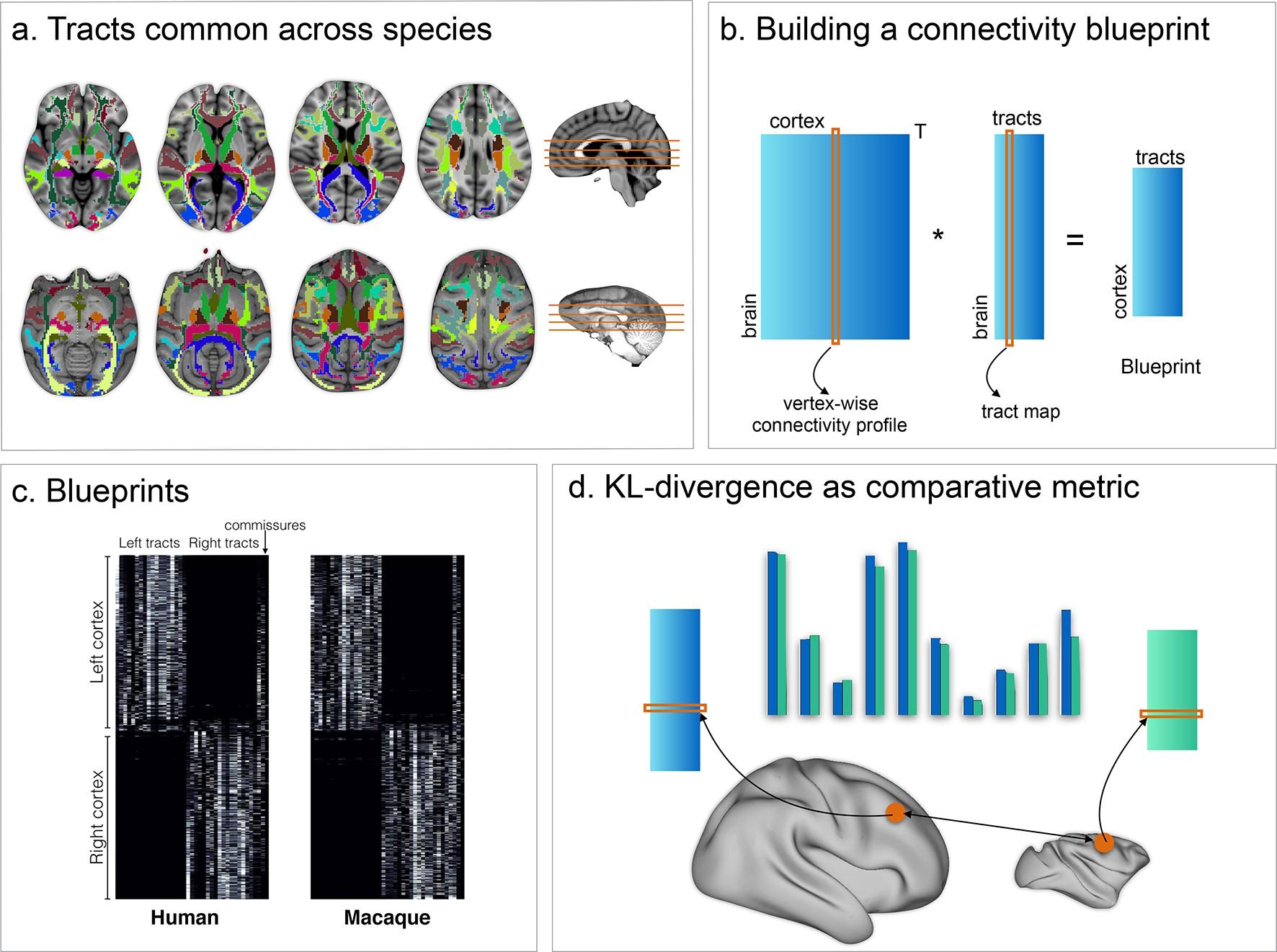 Whole brain comparative anatomy using connectivity blueprints | eLife